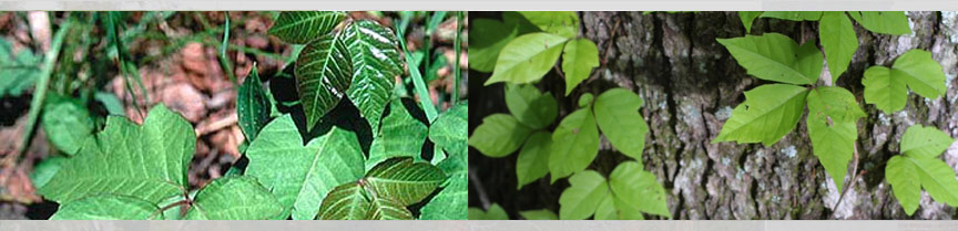 large poison ivy vine. Poison Ivy